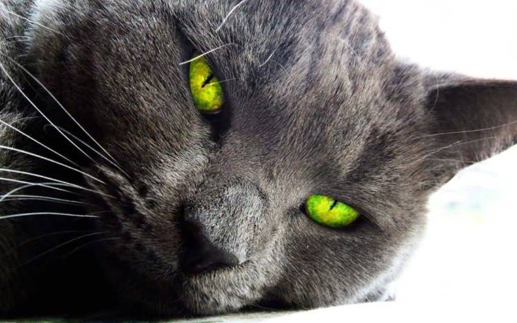 Face Of Strong Cat With A Green Eyes Full Hd Wallpaper