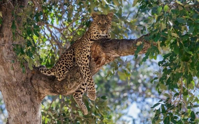 Fantastic Leopard On A Tree Branchfull Hd Wallpaper