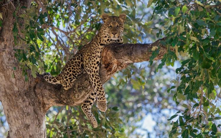 fantastic-leopard-on-a-tree-branchfull-hd-wallpaper