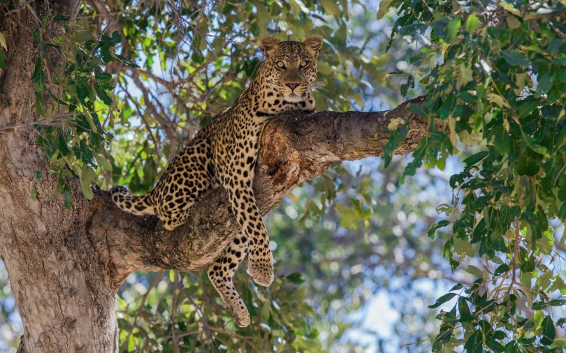 fantastic-leopard-on-a-tree-branchfull-hd-wallpaper