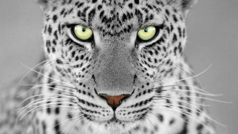 Fantastic White Leopard 4k Wallpaper