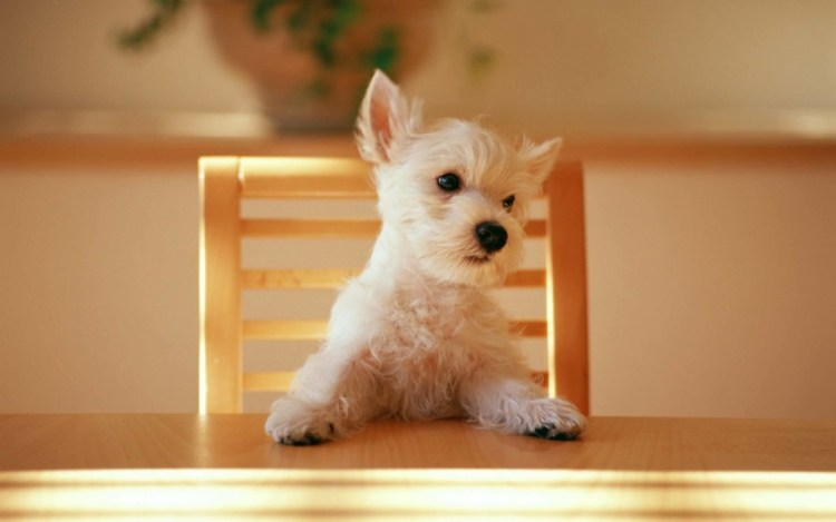 Funny Dog On The Dining Cute Dog Wallpaper In HD