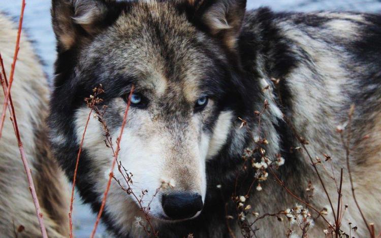 Great Wolf Face Hd Wallpaper