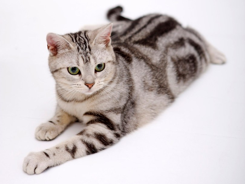 Healthy American Shorthair Cat Have nice Eyes American Shorthair