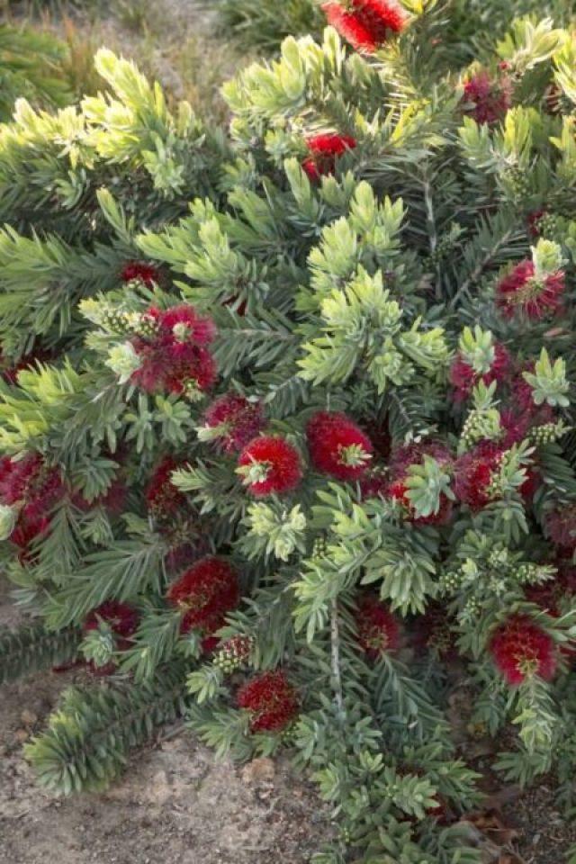 High Definition Bottle Brush Flower Plant Wallpaper
