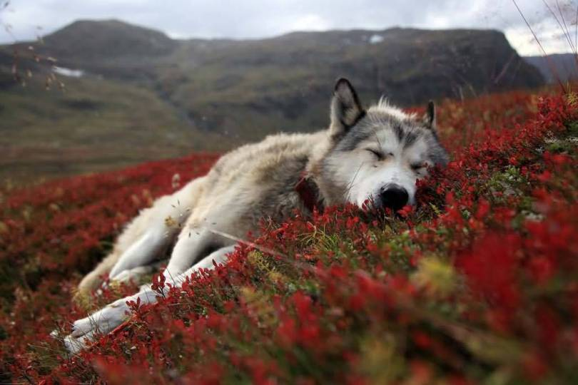 Husky Sleeping On The Red Flowers Full Hd Wallpaper