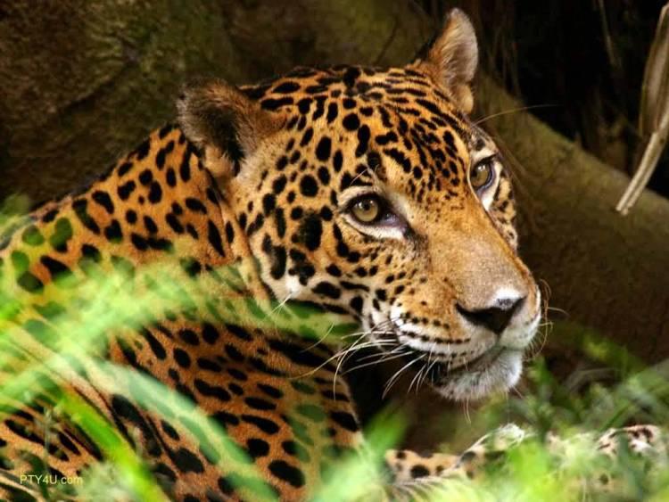 Leopard Next To The Green Grass 4k Wallpaper