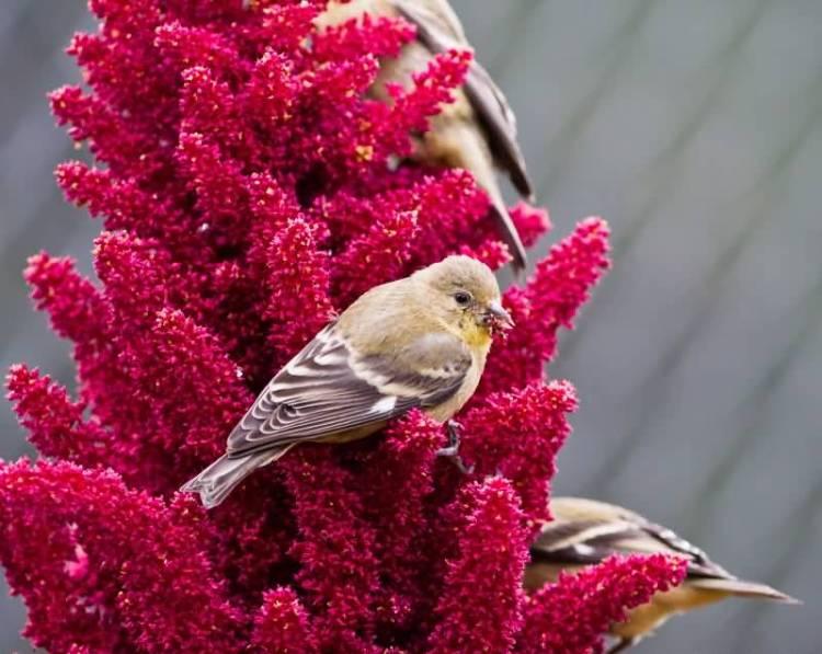 Lovely Bird Sitting In Red Fabulous Amaranth Flower In My Backyard