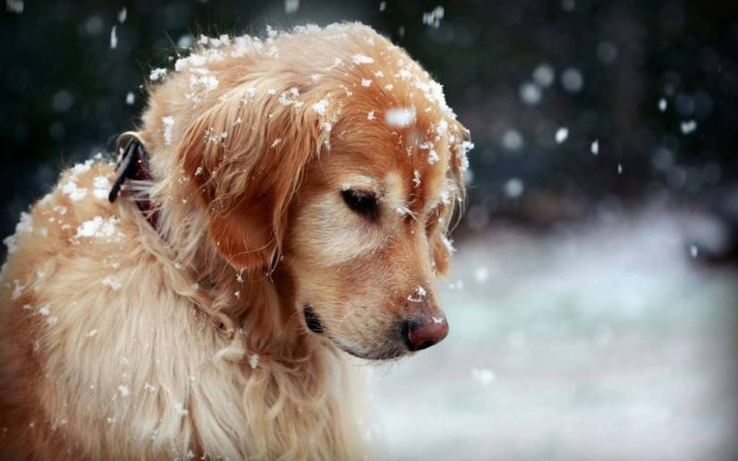 Lovely Dog With Snow Drops Hd