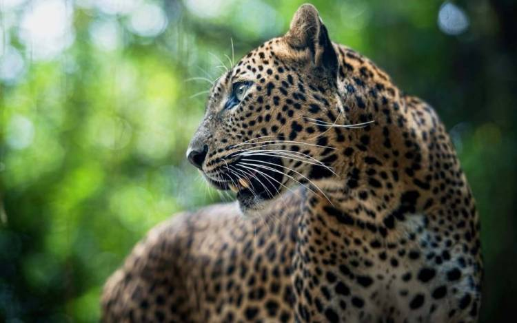 Magnificent Leopard Looking At Other Side 4kwallpaper