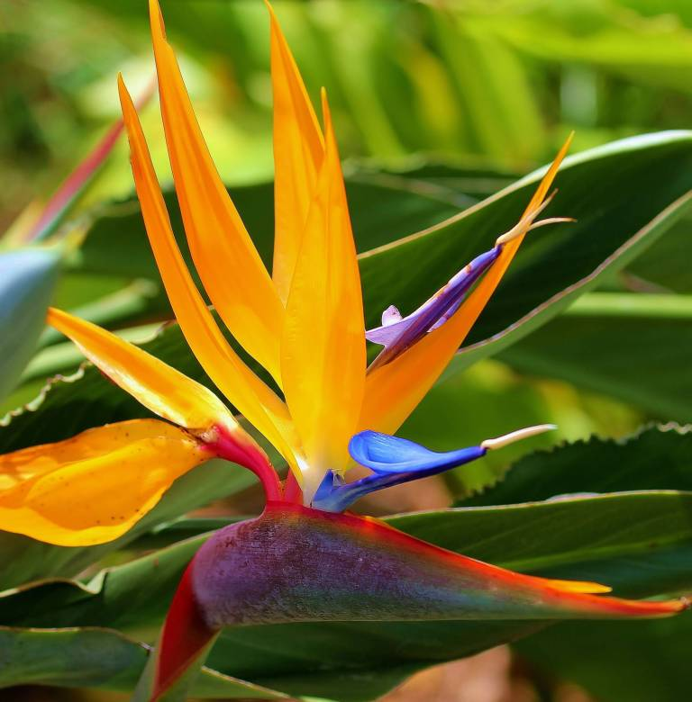 Mind Blowing Bird Of Paradise Flower Wallpaper With Green Background