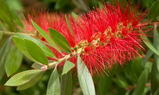 Mind Blowing Bottle Brush Flower With Green Awesome Background