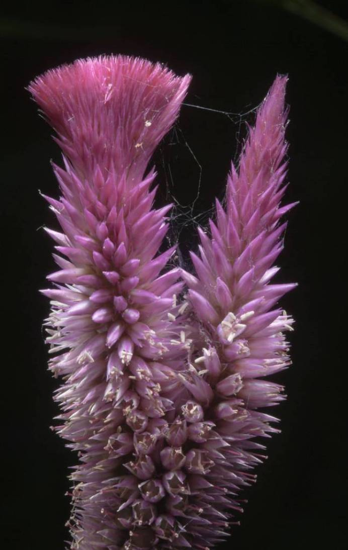 Mind Blowing Light Purple Flower Amaranth Plant Image Taken In Low Light