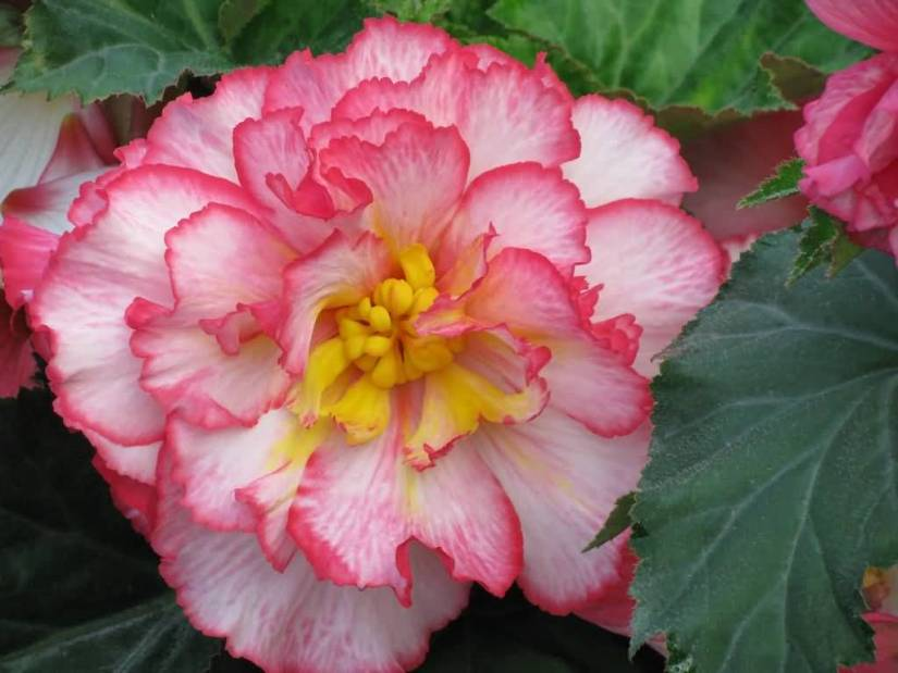 Mind Blowing Pink in Yellow Begonia Flower With Beautiful