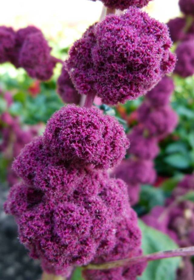 Mind Blowing Purple Flower Amaranth For Decirate My Sisters Wedding