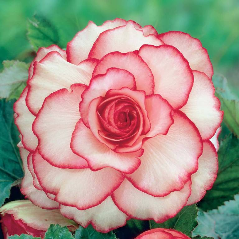 Mind Blowing Red And White Begonia Flower Photo