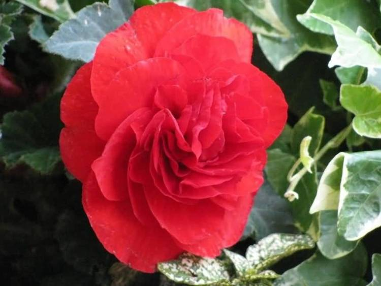 Mind Blowing Red Begonia Flower For Decoration