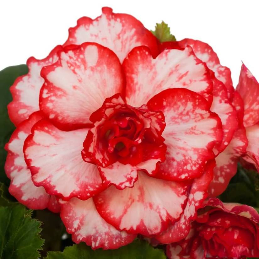Mind Blowing White And Red Combination Begonia Flower Plant