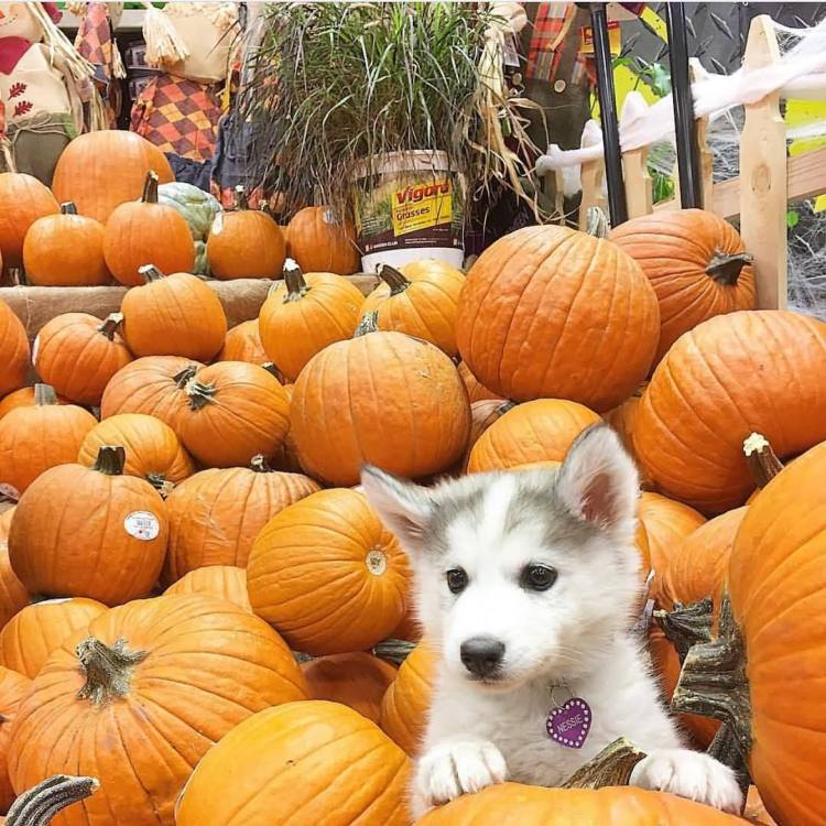 Mind Blowing White Husky Dog Playing In Pumpkin Truck Feeling Very Happy