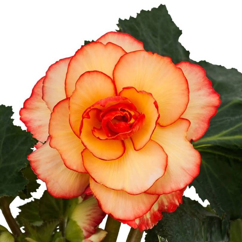 Mind Blowing Yellow Begonia Flower With Green Leafs