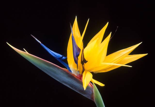 Mind Blowing Yellow Bird Of Paradise Flower For Decoration