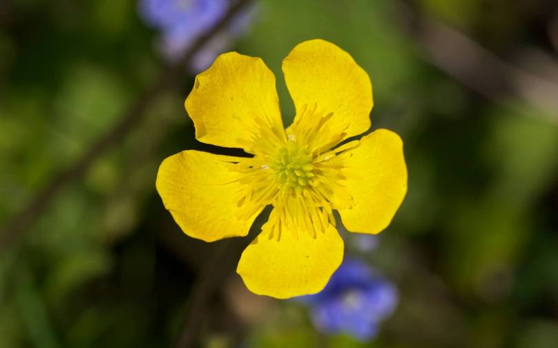 Mind Blowing Yellow Buttercup Flower With Green Beautiful Background