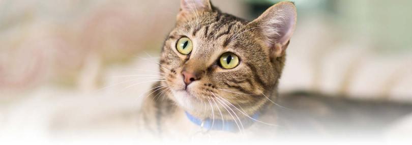 Mind blowing Brown American Shorthair Cat With nice Eyes