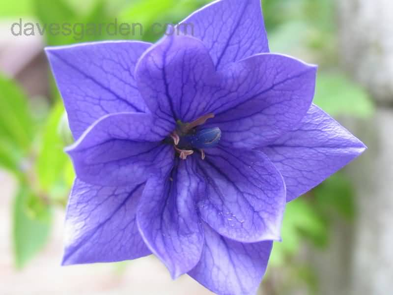 Most Beautiful Blue Bellflower Photo
