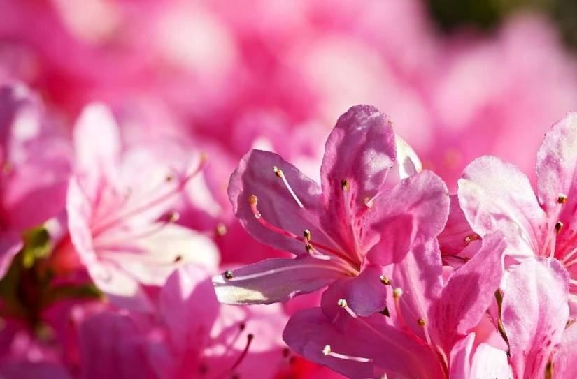 Most Beautiful Pink Azalea Flowers For Decoration