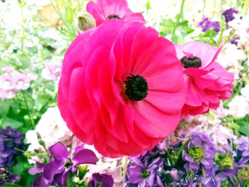 Most Beautiful Pink Persian Buttercup For Decoration