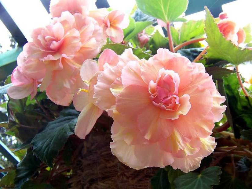 Most Beautiful Red Begonia Flower Plant With Green Leafs