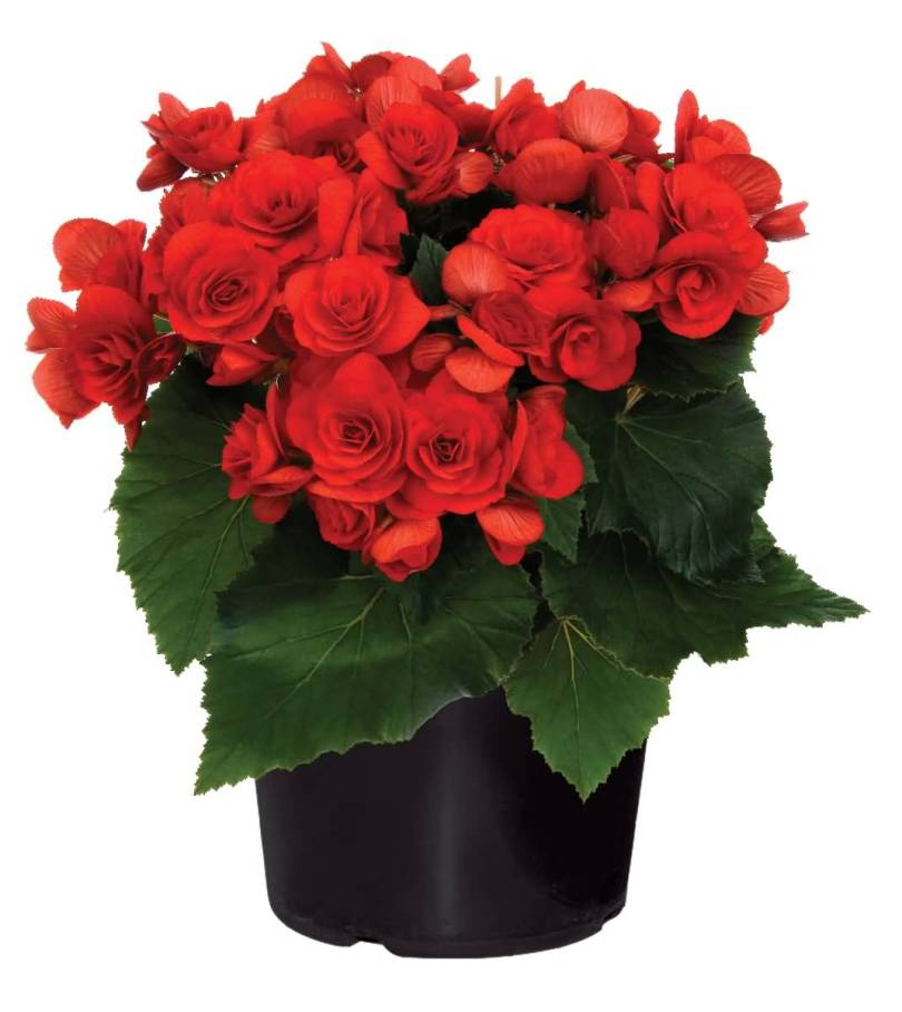 Most Beautiful Red Begonia Flower With Green Leafs