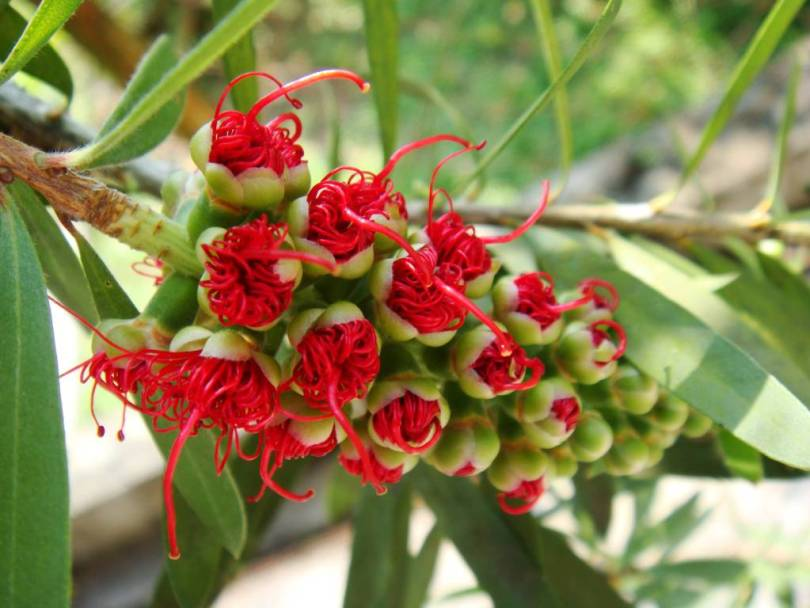 Most Beautiful Red Bottle Brush Flower With Green Leafs