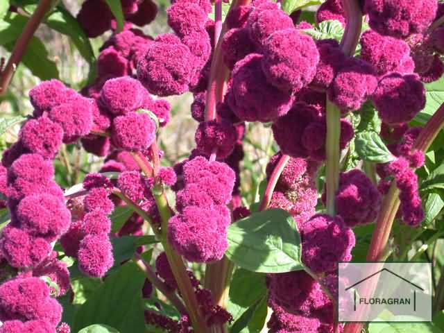 Most Beautiful Red Globe Amaranth Flowers With Beautiful Green Leafs