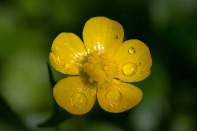 Most Beautiful Yellow Buttercup Flower For Decoration