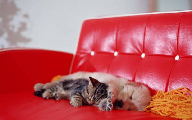 Most Incredible Cat And Dog Sleeps On The Sofa 4K Wallpaper