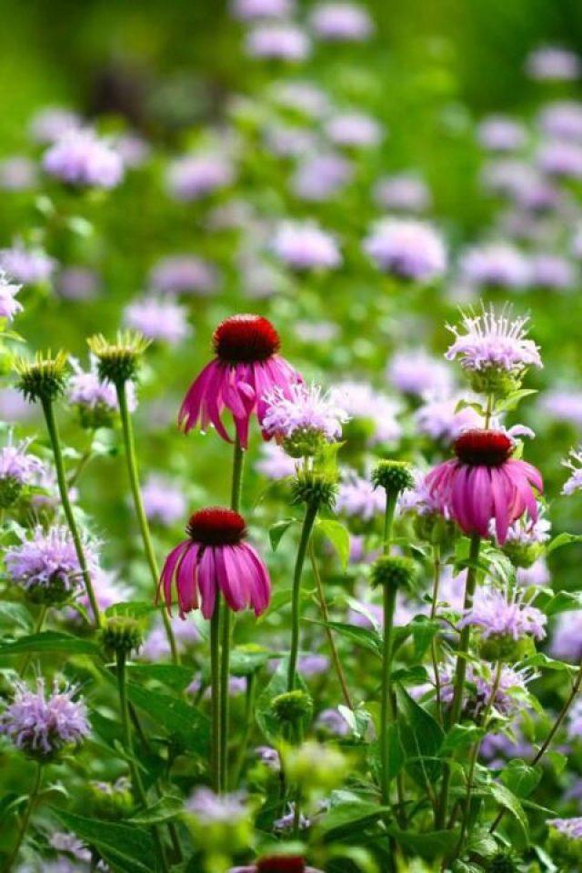 Nice Color White Bergamot Flower Plant In Garden