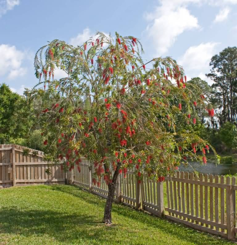 Out Standing Bottle Brush Flower Tree In Home