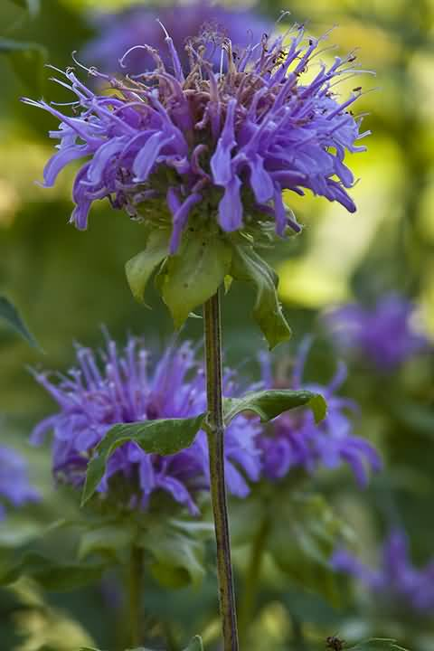 Out Standing Dark Blue Bergamot Flower Plant For Decoration
