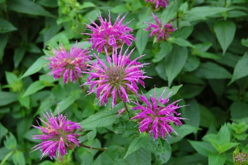 Out Standing Many Pink Bergamot Flower Plant With Green Leafs