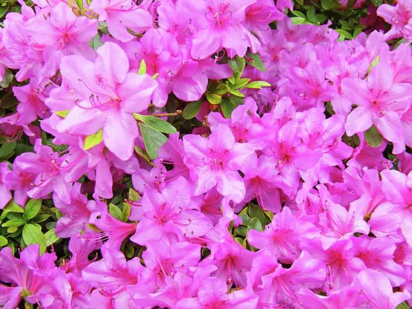 Out Standing Pink Azalea Many Flowers