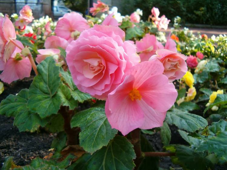 Out Standing Pink Begonia Mnay Flower for Decoration
