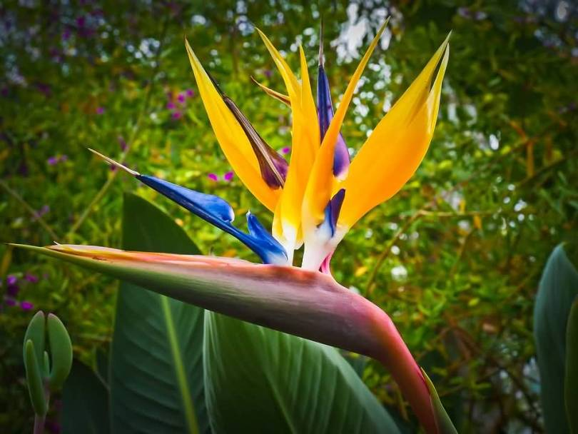 Out Standing Yellow Bird Of Paradise Flower With Green Background