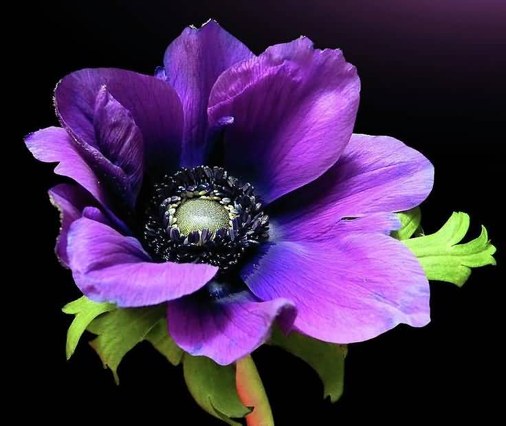 Outstanding Purple Anemone Flower On Plant Wallpaper