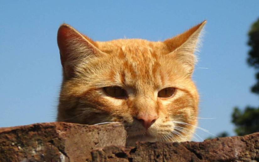Sad brown Cat Behind The Wall full HD wallpaper