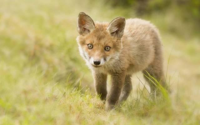 Small Baby Fox Brown 4k Wallpaper