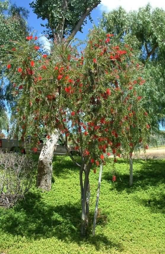 Stunning Bottle Brush Flower Tree With Beautiful Background