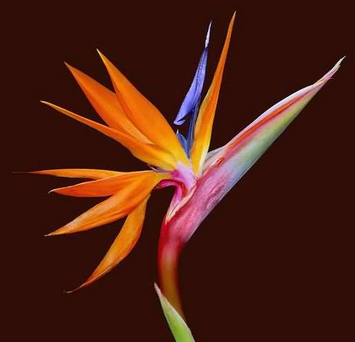 Stunning Orange Bird Of Paradise Flower in Plant
