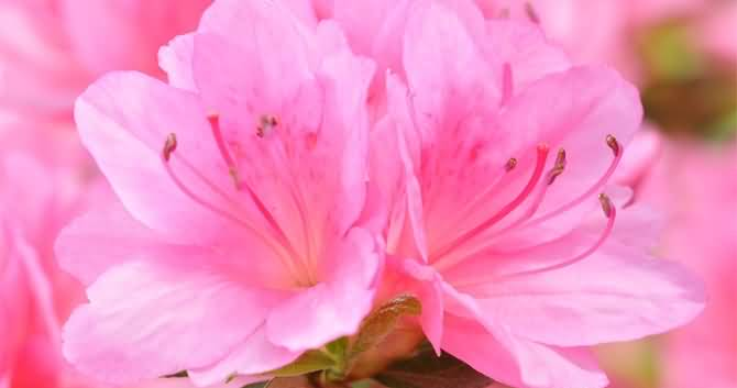 Stunning Pink Azalea Flower For Wallpaper