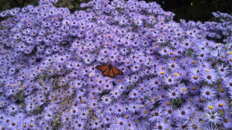 Stunning Purple Many Aster Flowers For Decoration